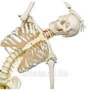 Модель гибкого скелета Fred класса люкс, на 5-рожковой роликовой стойке фото