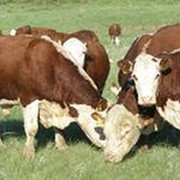 Белоголовая корова фото