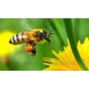 Яд пчелинный фото