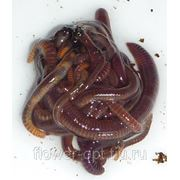 Искусственные черви и опарыши фото