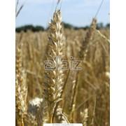 Очистка зерновых культур фото