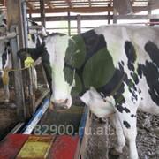 Бескровная кастрация быков инновационным прибором фото