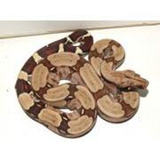 Рептилии из Южной Америки фото