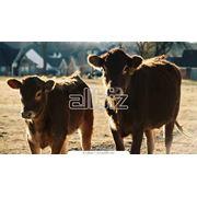 Продажа молочных бычков фото