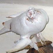 Узбекский бойный голубь фото