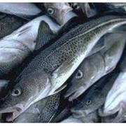 Морская свежемороженая рыба фото
