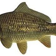 Карп является объектом любительского рыболовства фото