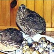 Перепелиное яйцо,тушки фото