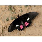 Бабочки живые с доставкой адресату. фото