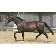 Лошадь верховой породы фото