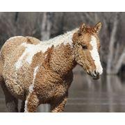 Эксклюзив! Кучерявые лошади фото