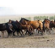 Лошади Кушумской породы фото