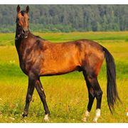 Ахалтекинци. Порода лошадей.