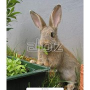 Шкуры кроликов фото