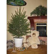 Новогодние живые елки фото