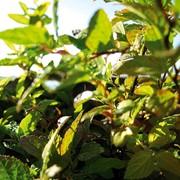 Продажа саженцев деревьев фото