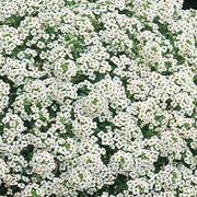 ALYSSUM (Lobularia maritima) / Алиссум морской - SNOW CRYSTALS , PanAmerican Seed - 1г фото