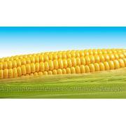 Посевной материал гибридов кукурузы «ЕВРАЛИС СЕМЕНС» (EURALIS SEMENS) фото