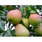 Саженцы плодово-ягодных растений фото