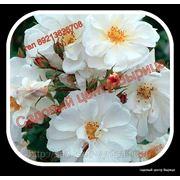 Роза Diamant фото