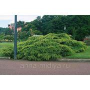 Можжевельник Pfitzeriana Aurea d-155-170 фото