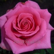 Роза Тенга Венга (Tenga Venga) фото