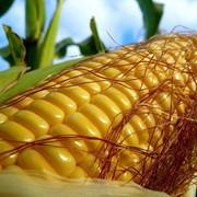 Семена кукурузы РОСС 140 СВ фото
