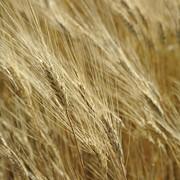 Пшеница 4-й класс