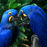 Гиацинтовый ара - птенцы выкормыши из питомников фото