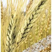 Пшеница, купить, Украина фото