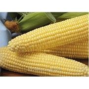 Семена, Сахарная Кукуруза, Шайнрок F1, Syngenta упаковка, 100 тыс.шт. фото