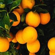 Апельсины фото