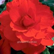 Бегония Double Red 5/6 (978) фото