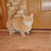 Манчкин котята фото