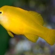 Рыба Гоби Okinawa goby фото