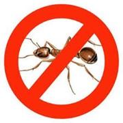 Устранение муравьёв фото