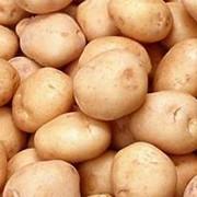 Картофель Ред Скарлетт фото