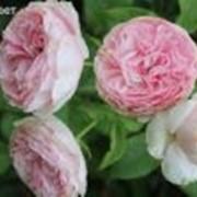 Саженцы роз Синдерелла (Cinderella)