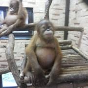 Обезьянка орангутан фото