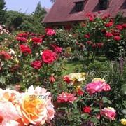 Услуга по устройству розария и сирингария фото