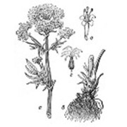 Валерианы корень цельный фото