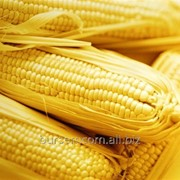 Кукуруза на ЭКСПОРТ фото