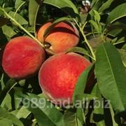 Персики молдова в Молдове фото
