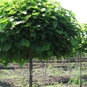 Посадка лиственных растений фото
