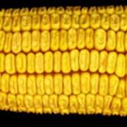 Семена кукурузы Солонянский 298 св фото