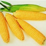 Семена кукурузы РИК 340 МВ фото