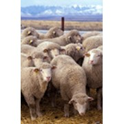 Продажа овец фото