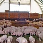 Свинарники фото