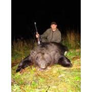 Охота на медведя «на овсах» фото