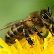 Пчелопакет 4-храмочный фото